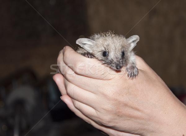 hedgehog Stock photo © inxti