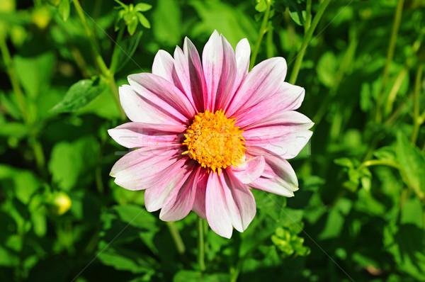 Roze dahlia bloem Geel centrum groen gras Stockfoto © inxti