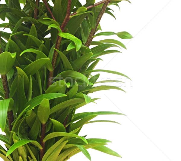 изолированный белый цветок природы лист Сток-фото © inxti