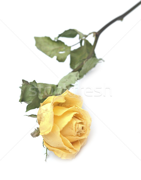a dried rose isolated on a white background  Stock photo © inxti