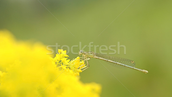 Dragonfly on yellow flower Stock photo © inxti