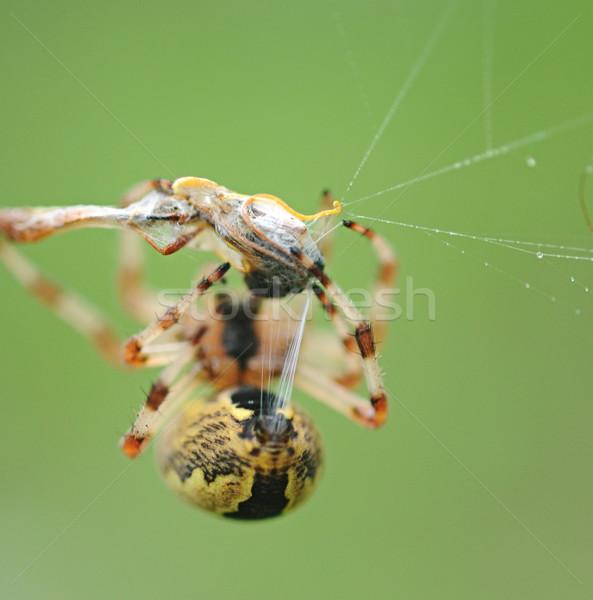 Live zwarte Geel tuin spin buit Stockfoto © inxti