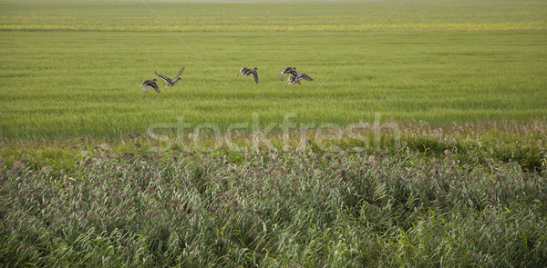 A flock of ducks taking flight from a wetland Stock photo © inxti