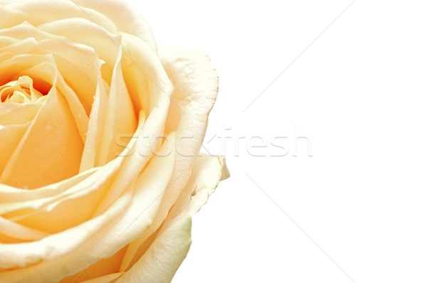 Yellow rose flower as close up Stock photo © inxti
