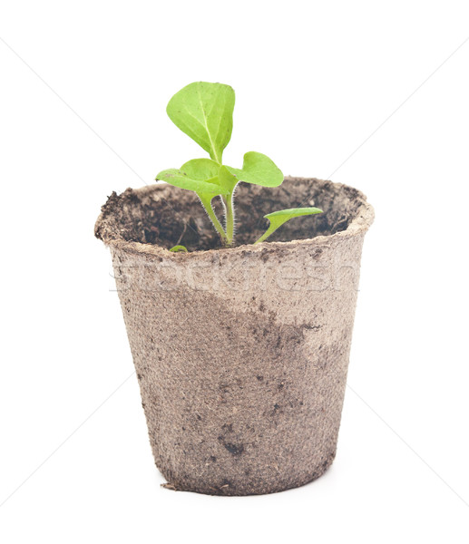 Peat pots with soil and a plant petunia.  Stock photo © inxti