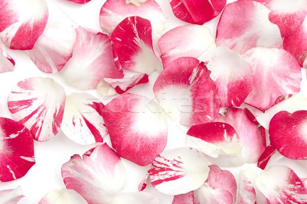 Roze witte rozenblaadjes bloemen achtergrond viering Stockfoto © inxti