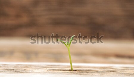 young plant growing close up Stock photo © inxti