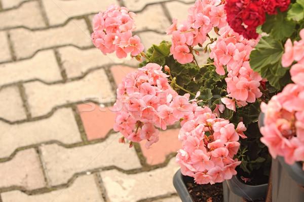 Stock photo: Three Ivy Geraniums