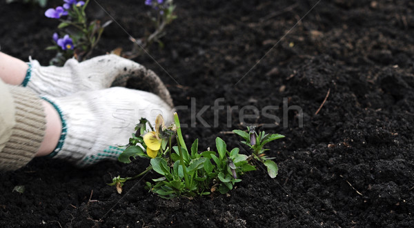 Stockfoto: Plant · hand · bodem · bloem · voorjaar · home