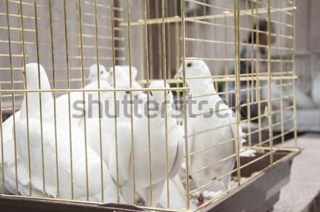 Fehér galambfélék napos idő fából készült ketrec ház Stock fotó © inxti