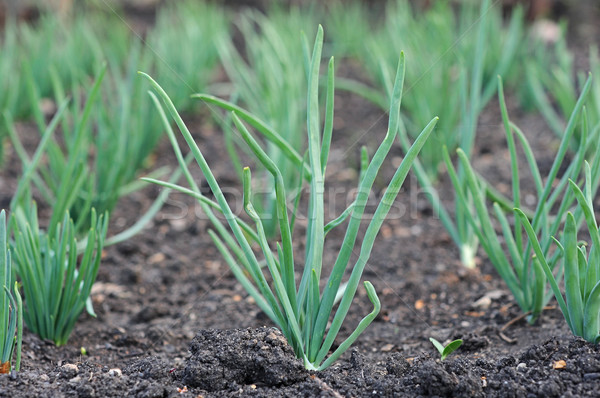onion plantation in the vegetable garden Stock photo © inxti