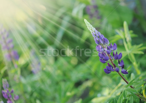 Purple Wild Lupines on a Sunny Spring Morning Stock photo © inxti