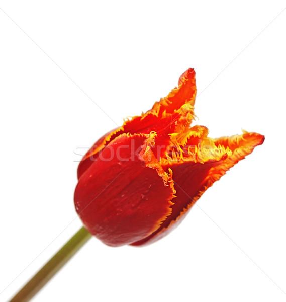 тюльпаны белый цветок любви рождения красный Сток-фото © inxti