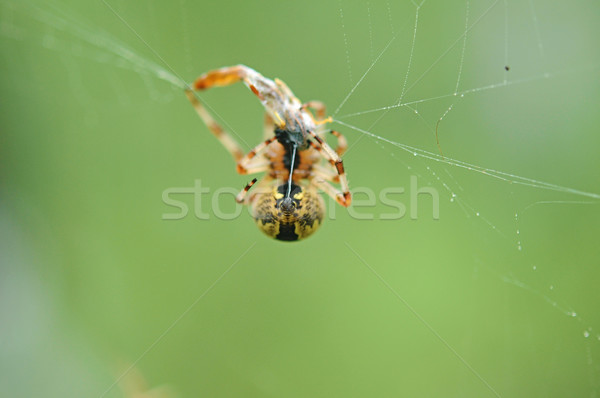 Live Black and Yellow Garden Spider with Prey. Stock photo © inxti