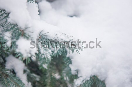Christmas evergreen spruce tree with fresh snow  Stock photo © inxti