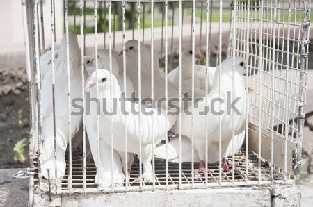 white doves on a sunny day in a wooden cage Stock photo © inxti
