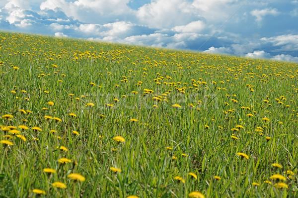 пейзаж одуванчик области трава природы лет Сток-фото © inxti