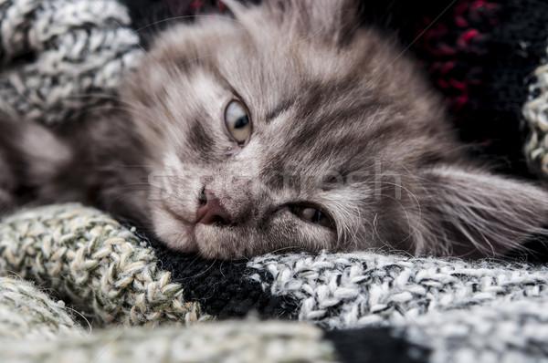 Dormire gattino grigio sonno sciarpa Foto d'archivio © inxti