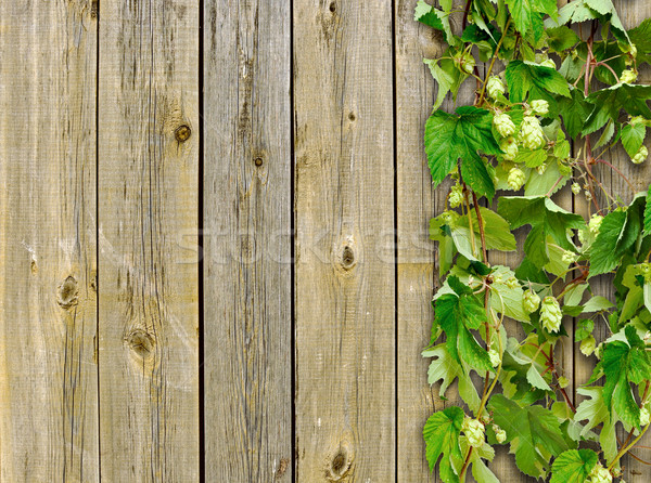 a old wooden fence and a climber plant hop Stock photo © inxti