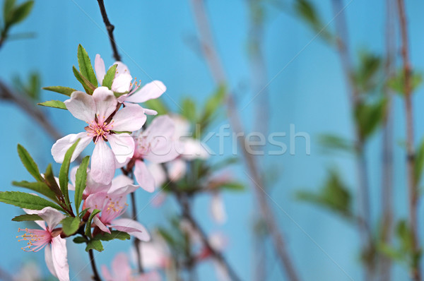 Flowers of the cherry blossoms on a spring day  Stock photo © inxti