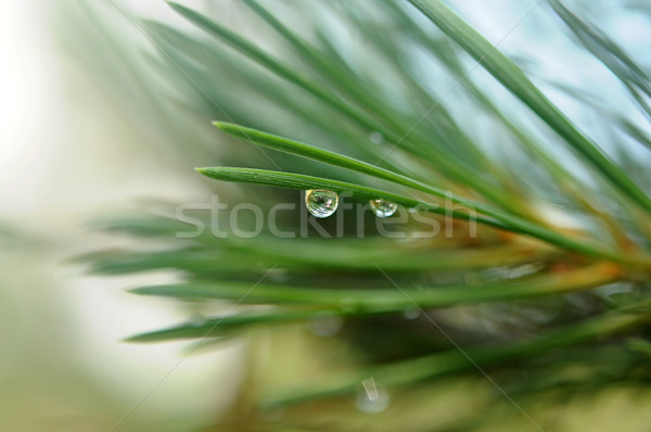Coniferous tree branch with water drops Stock photo © inxti