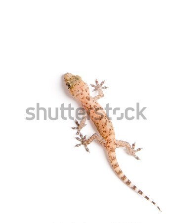 Gecko climbing Stock photo © iodrakon
