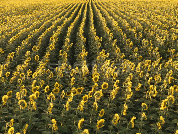 Agricultural sunflowers. Stock photo © iofoto