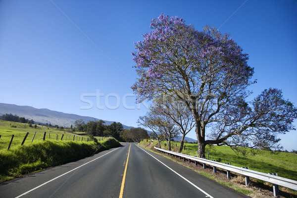 Road with Jacaranda tree in Maui. Stock photo © iofoto
