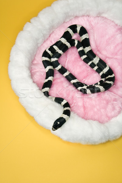 California Kingsnake in furry pet bed. Stock photo © iofoto