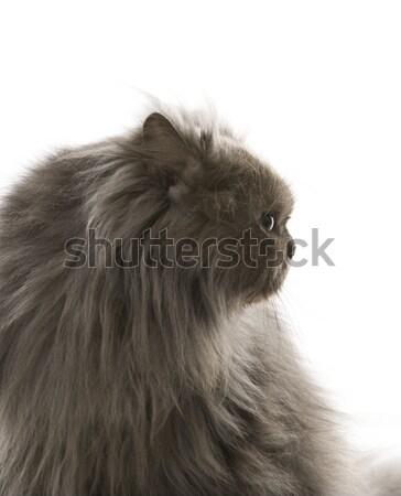 Grijs perzische kat naar kat haren kleur Stockfoto © iofoto
