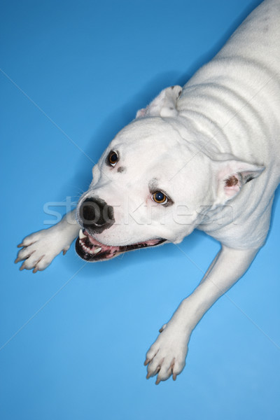 White dog on blue background. Stock photo © iofoto