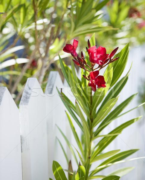Flowers by fence. Stock photo © iofoto