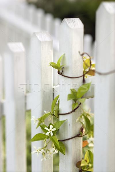 Vine growing on white picket fence. Stock photo © iofoto