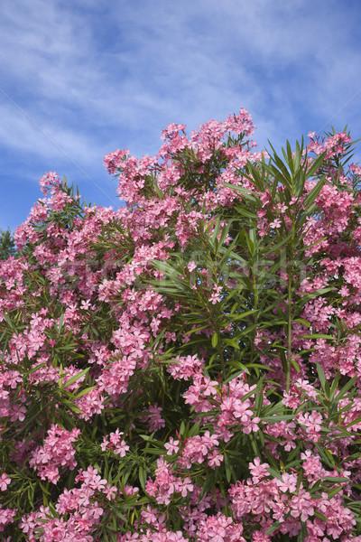 Flowering pink Oleander bush. Stock photo © iofoto