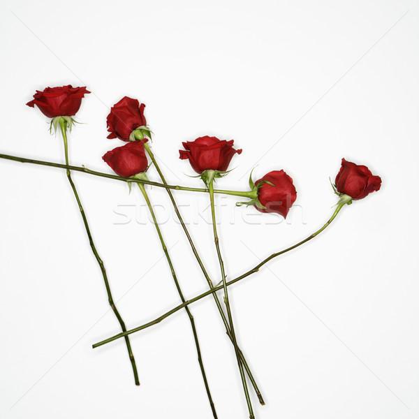 Red roses on white. Stock photo © iofoto
