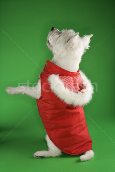 White terrier dog begging. Stock photo © iofoto