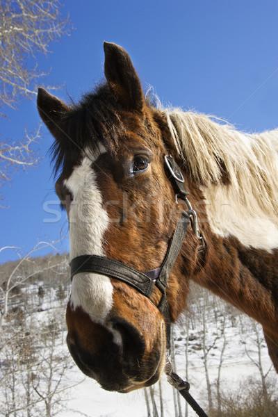 Horse Wearing Halter Stock photo © iofoto
