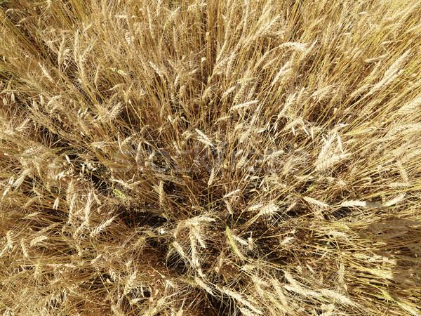 Field of wheat. Stock photo © iofoto