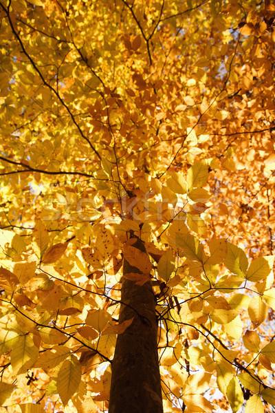 Tree in Fall color. Stock photo © iofoto