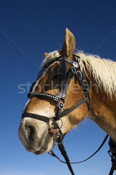 Draft Horse. Stock photo © iofoto