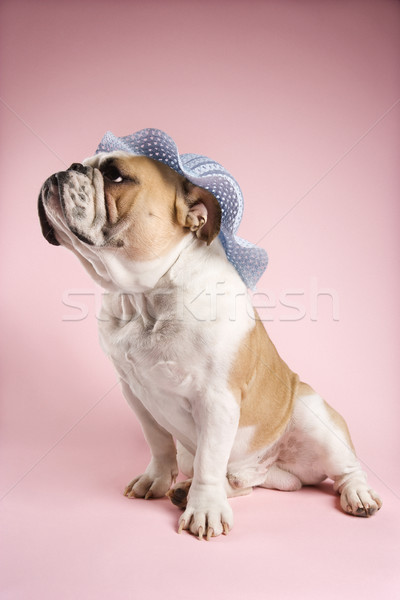 English bulldog indossare Hat rosa guardando Foto d'archivio © iofoto