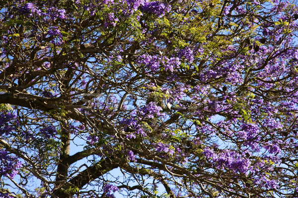 Jacaranda tree in Maui, Hawaii Stock photo © iofoto