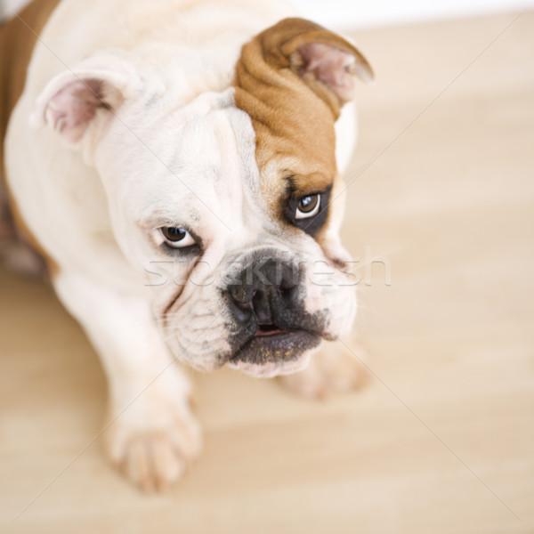 Bulldog sitting on wood floor. Stock photo © iofoto