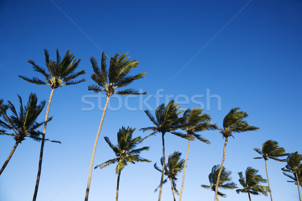 Stock photo: Palm trees and sky.