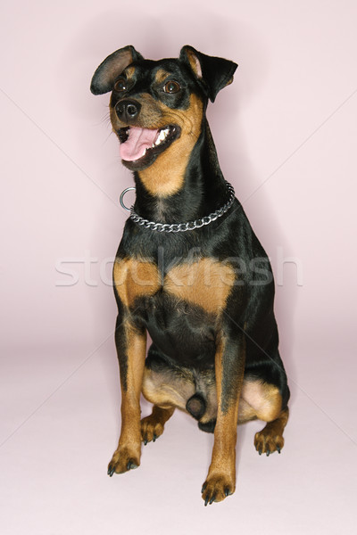 Portrait of Miniature Pinscher dog. Stock photo © iofoto