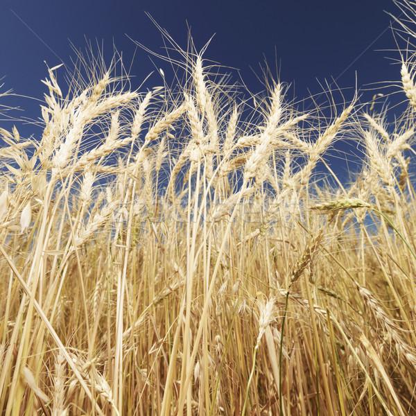 Wheat and blue sky. Stock photo © iofoto