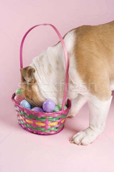 Inglés bulldog Pascua cesta cara enterrado Foto stock © iofoto