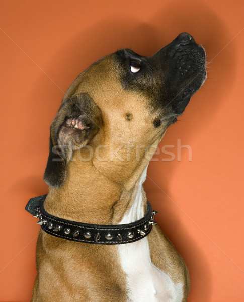 Boxer dog in spiked collar. Stock photo © iofoto