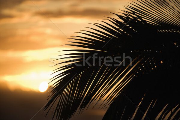 Palm against sunset in Maui. Stock photo © iofoto