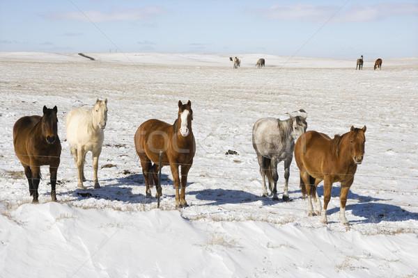 Horses in snow. Stock photo © iofoto